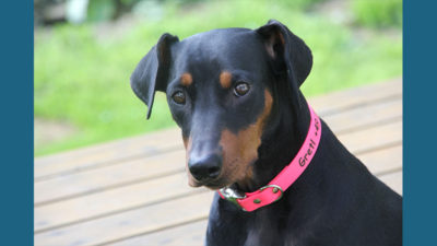German Pinscher 5