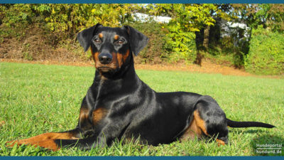 German Pinscher 6