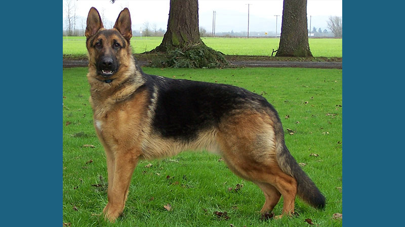 German Shepherd Dog 3