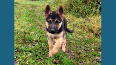 German Shepherd Dog 6