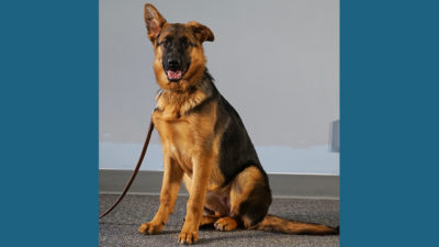 German Shepherd Dog 7