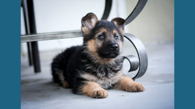 German Shepherd Dog 8