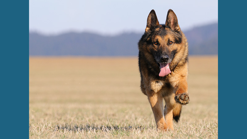 German Shepherd Dog 9