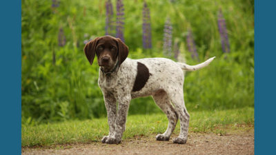 German Shorthaired Pointer 1