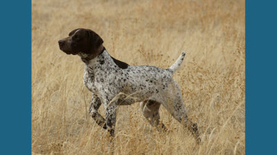 German Shorthaired Pointer 10
