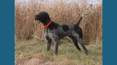 German Shorthaired Pointer 12