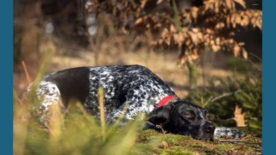 German Shorthaired Pointer 14