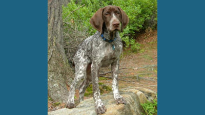 German Shorthaired Pointer 3
