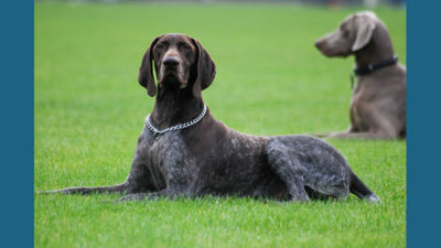 German Shorthaired Pointer 4