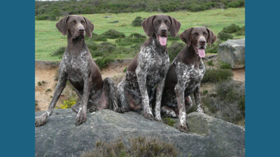 German Shorthaired Pointer 6