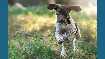 German Shorthaired Pointer 9