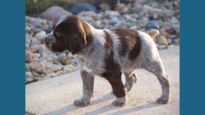 German Wirehaired Pointer 1