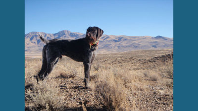 German Wirehaired Pointer 10