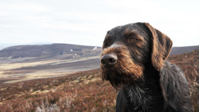 German Wirehaired Pointer 4
