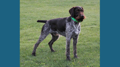 German Wirehaired Pointer 5