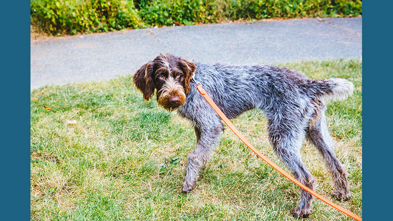 German Wirehaired Pointer 6