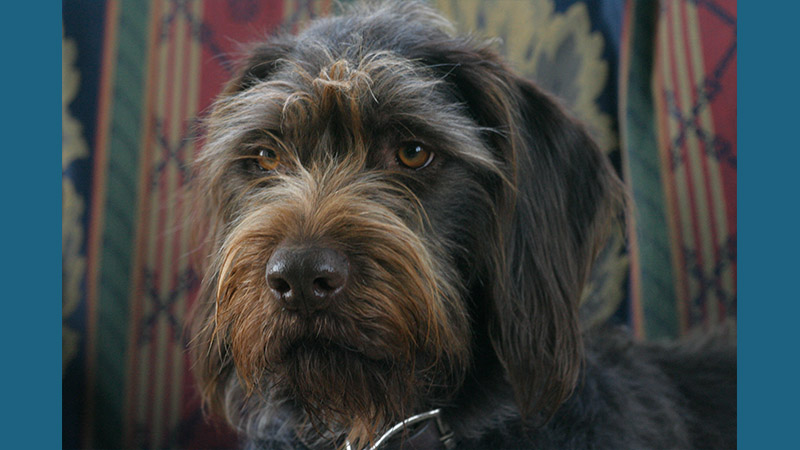 German Wirehaired Pointer 7