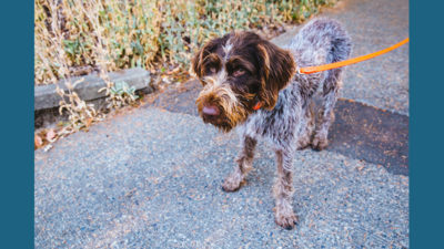 German Wirehaired Pointer 8