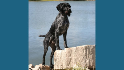 German Wirehaired Pointer 9