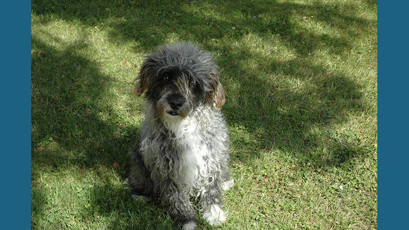 Glen of Imaal Terrier 2