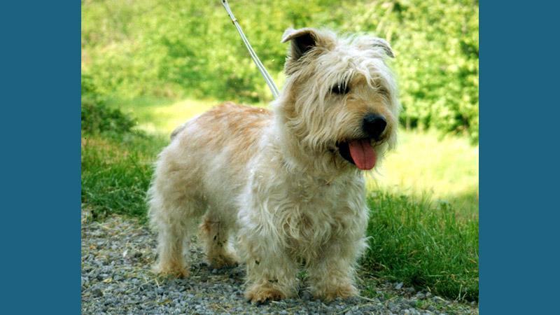 Glen of Imaal Terrier 3