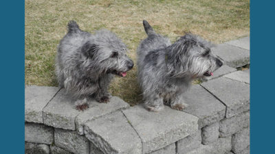 Glen of Imaal Terrier 4