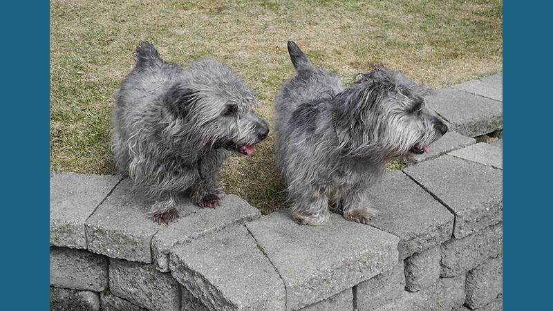 Glen of Imaal Terrier 4
