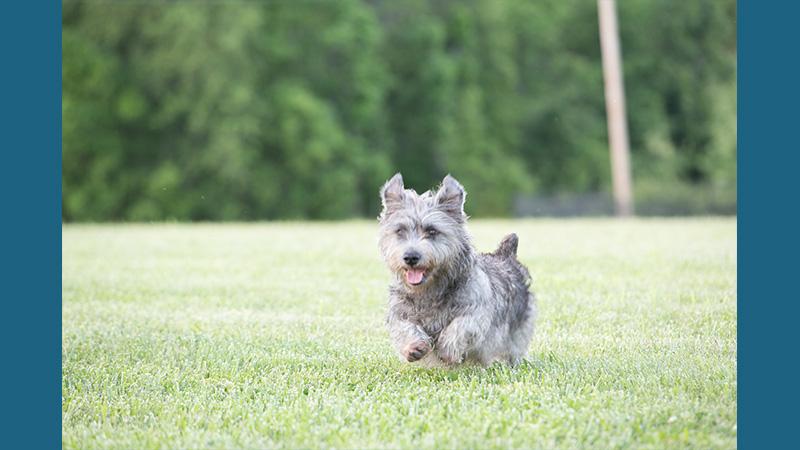 Glen of Imaal Terrier 5
