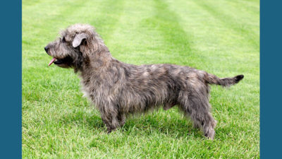 Glen of Imaal Terrier 6