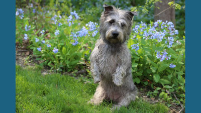 Glen of Imaal Terrier 7