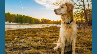Golden Retriever 13