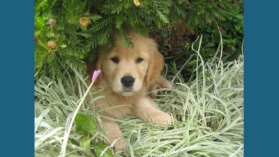 Golden Retriever 16