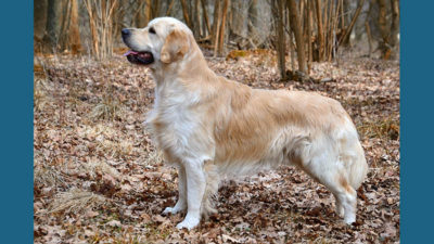 Golden Retriever 6