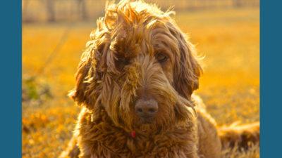 Goldendoodle 1