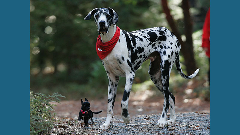 Great Dane 11