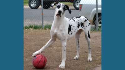 Great Dane 3