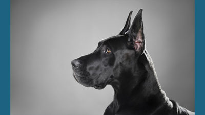 Great Dane 7
