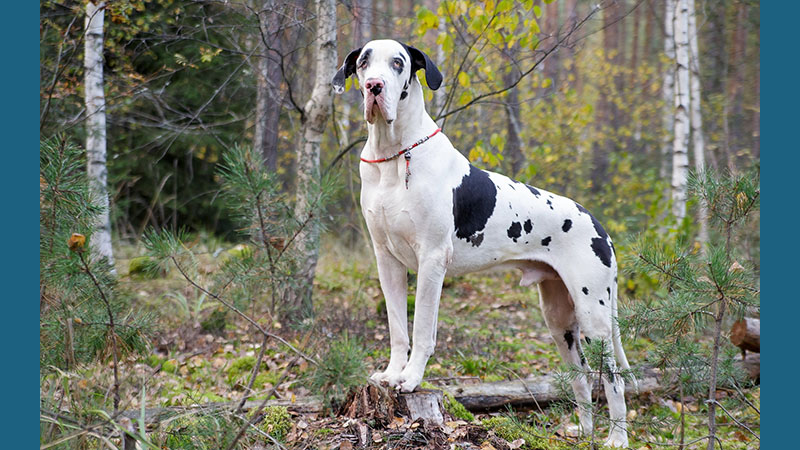 Great Dane 9