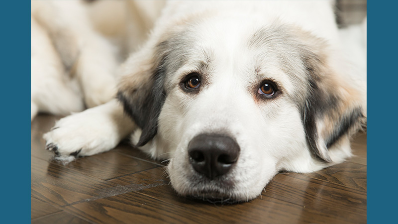 Great Pyrenees 10