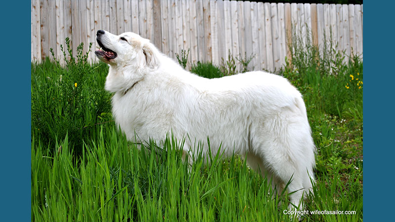 Great Pyrenees 11