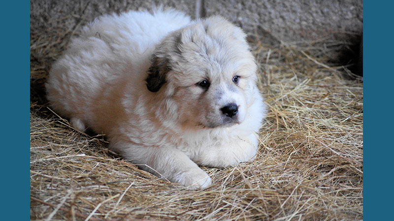 Great Pyrenees 12