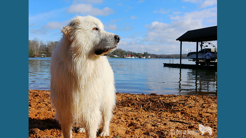 Great Pyrenees 3
