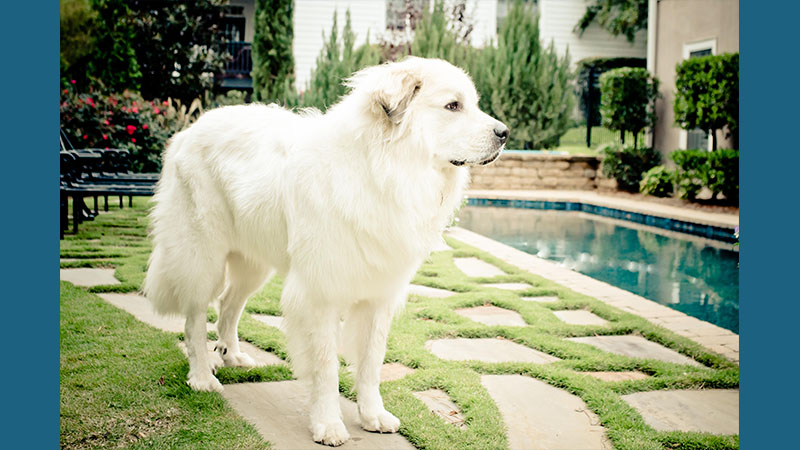Great Pyrenees 7
