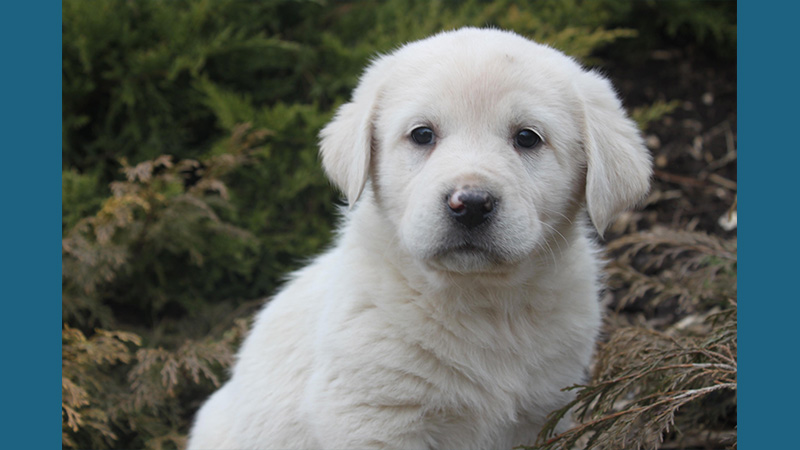 Great Pyrenees 8