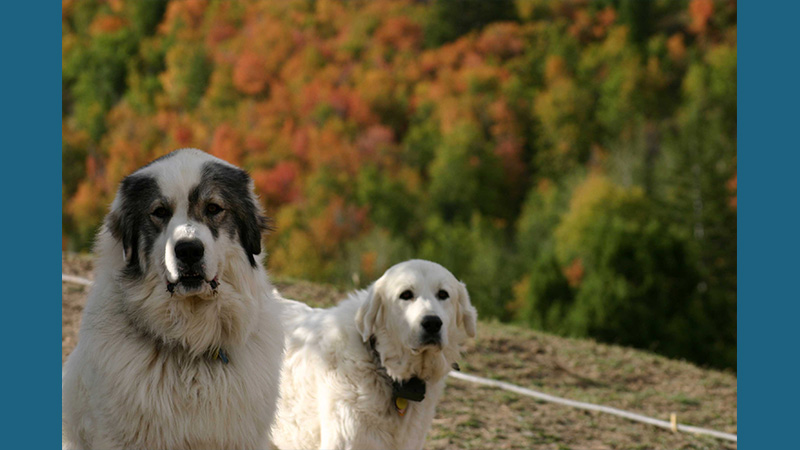 Great Pyrenees 9