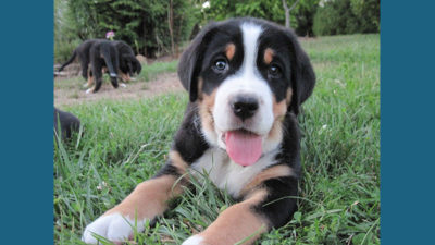 Greater Swiss Mountain Dog 1