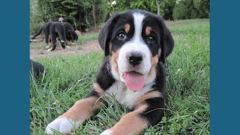 Greater Swiss Mountain Dog 1