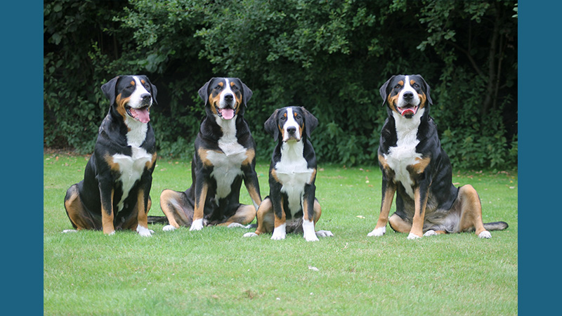 Greater Swiss Mountain Dog 3