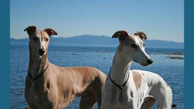Greyhound 10