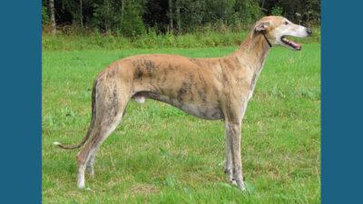 Greyhound 11